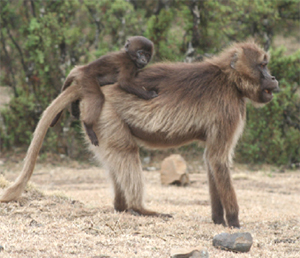 Female Gelada and baby, Simien Mountains (Photo: coxandkings.co.uk)