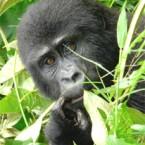 Africa Adventure Consultants Announces New Uganda Flying Safari for Gorilla and Chimp Trekking…