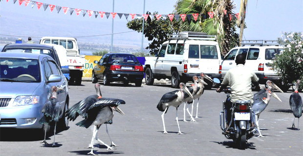 Birds in the streets of Hawassa (photo: AddisFortune.net)