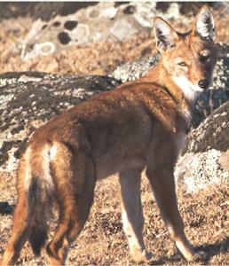 Ethiopian Wolf (Photo: independent.co.uk)