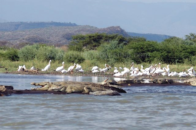 Crocodiles and Pelicans (Photo: www.johnnyabyssinia.com )