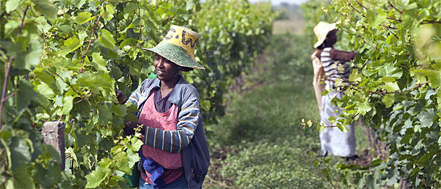 Women pick grapes at the Castel vineyard near the town of Ziway in Ethiopia. Photograph: Zacharias Abubeker/AFP/Getty Images
